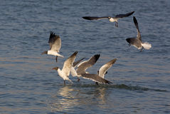 Laughing Gulls (Larus atricilla) Royalty Free Stock Photo
