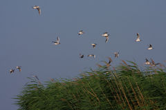 Laughing gulls in flight. Laughing gulls Leucophaeus atricilla in flight over reed bed Stock Photography