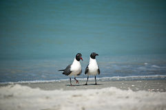 Laughing Gulls on a Florida Beach Stock Photo