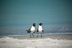 Laughing Gulls on a Florida Beach. A pair of Laughing Gulls in breeding plumage walk along a sandy Florida beach Stock Photo
