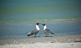 Laughing Gulls on a Florida Beach Royalty Free Stock Image