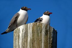 Laughing gulls in Florida Royalty Free Stock Photography
