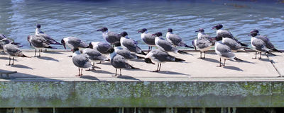 Laughing Gulls (Larus atricilla) Royalty Free Stock Image