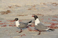 Laughing Gulls Leucophaeus Atricilla is on Indian Rocks Beach, Gulf of Mexico, Florida Stock Photo