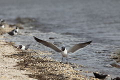 Laughing Gulls Stock Photo