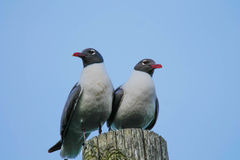 Laughing gulls. On a pole Royalty Free Stock Photography