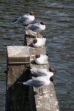 Laughing gulls Royalty Free Stock Image