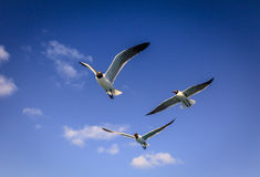 Laughing Gulls Stock Images