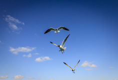 Laughing Gulls Stock Image