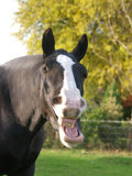 Laughing Horse Royalty Free Stock Images