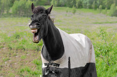 Free Laughing Horse Stock Image - 27307881