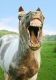 The laughing Horse Stock Photography