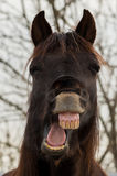 Laughing Horse Face Stock Images