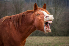 Laughing horse Royalty Free Stock Photography