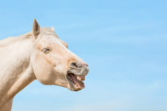 Laughing horse Stock Photography
