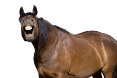 Laughing horse with mouth open showing teeth Royalty Free Stock Image
