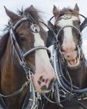 Team of Horses Stock Photo