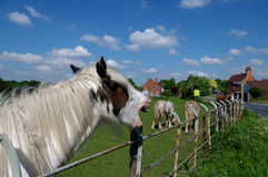 Laughing horse. Skewbald horse neighing over fence giving appearance of laughing, with other horses in background Royalty Free Stock Photography