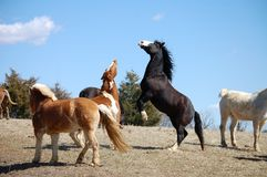 Laughing horses. Laughing chestnut skewbald and black baldfaced horses Stock Photography