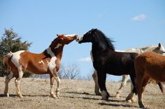 Laughing horses. Laughing chestnut skewbald and black baldfaced horses Stock Photo