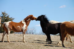 Laughing horses. Laughing chestnut skewbald and black baldfaced horses Royalty Free Stock Photography