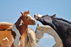 Laughing horses. Laughing chestnut skewbald and black baldfaced horses Royalty Free Stock Image