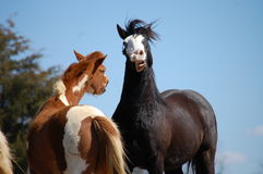 Laughing horses Royalty Free Stock Image