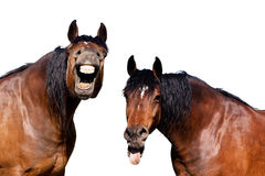 Laughing horses Stock Photo