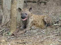 Laughing Hyena Royalty Free Stock Images