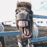 Laughing Iceland horse. Captured from Iceland , A natural country. The horse in a farm. With laughing face. animal Royalty Free Stock Photos