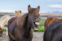 Laughing icelandic horse Stock Image