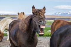 Laughing icelandic horse stock image