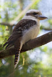 Laughing jackass. Portrait of a laughing jackass (kookaburra) sitting on a branch Royalty Free Stock Photography