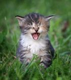 Laughing kitten. In the green grass Stock Photo