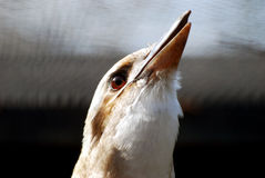 Laughing kookabura Stock Photography