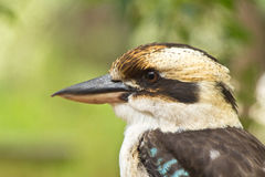 Laughing Kookaburra Royalty Free Stock Photos