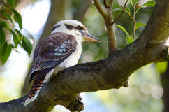 Laughing Kookaburra, Australia Royalty Free Stock Photography