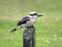 Laughing Kookaburra bird Royalty Free Stock Image