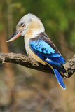Laughing Kookaburra Blue-winged Royalty Free Stock Photos