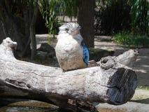 Laughing kookaburra. On the branch Stock Photos