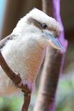 Laughing Kookaburra Stock Image