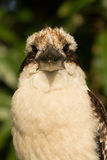 Laughing Kookaburra Royalty Free Stock Images