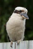 Laughing Kookaburra Royalty Free Stock Photography