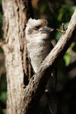 Laughing Kookaburra (Dacelo novaeguineae). Sitting in a tree in Queensland, Australia Royalty Free Stock Photos