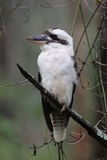 Laughing Kookaburra (Dacelo novaeguineae). Sitting in a tree in Queensland, Australia Royalty Free Stock Photography