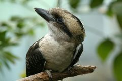 Laughing Kookaburra (Dacelo novaeguineae) Royalty Free Stock Photos