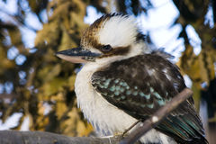 Laughing kookaburra (Dacelo novaeguineae). Portrait of a laughing kookaburra (Dacelo novaeguineae royalty free stock photo