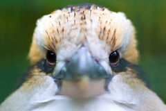 Laughing Kookaburra (Dacelo novaeguineae) Stock Photography