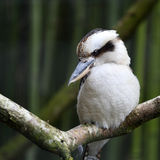 Laughing Kookaburra, Dacelo novaeguineae Royalty Free Stock Photos
