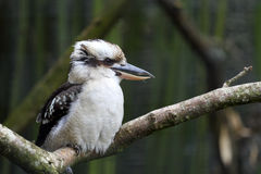Laughing Kookaburra, Dacelo novaeguineae Stock Photos